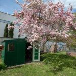 Blühender Magnolienbaum Wohnhaus Schwaz
